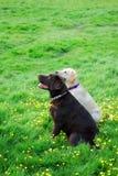 Sorelle del Labrador Immagine Stock