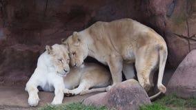 Sorelle della leonessa nello zoo di Toronto Fotografie Stock