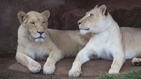 Sorelle della leonessa nello zoo di Toronto Immagine Stock