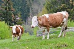 Sorelle della mucca Fotografia Stock Libera da Diritti