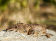 Sorex araneus - Common Shrew. Close-up shot of a Common Shrew (Sorex araneus Stock Photos