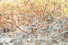 Sorga l'erba che bruciata della terra la foglia di estate è ceneri riscaldamento globale di inquinamento atmosferico Immagine Stock Libera da Diritti