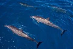 Sorgendo e sommerso, delfini del filatore del hawaiin Immagine Stock