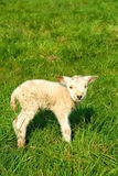 Sorgente, agnelli appena nati Fotografia Stock