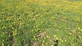 Sorgente bello campo verde in denti di leone gialli video d archivio
