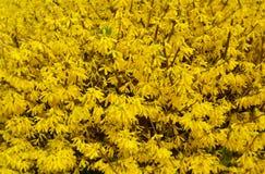Sorgente Cespugli gialli di forsythia della primavera immagini stock libere da diritti