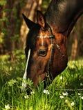 Sorgente che pasce cavallo Immagini Stock