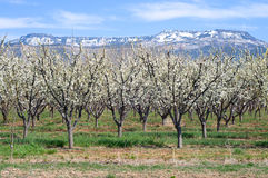 Sorgente della MESA 2010 del frutteto Fotografie Stock