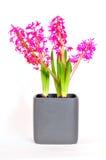 Sorgente di Pasqua del fiore di Hyacinthus Fotografie Stock