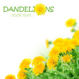 Sorgente Flowers.Dandelions Fotografie Stock