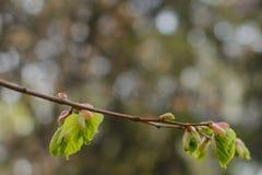 Sorgente Foglie del fiore del tiglio reni nascita Fotografia Stock Libera da Diritti
