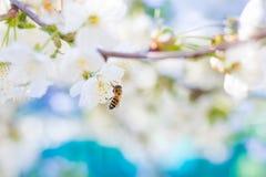 Sorgente L'ape raccoglie il nettare dai fiori bianchi della a Fotografie Stock