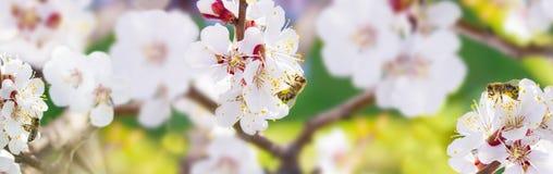 Sorgente L'ape raccoglie il polline del nettare dai fiori bianchi della a Fotografie Stock