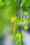 Sorgente: la betulla germoglia Fotografie Stock Libere da Diritti