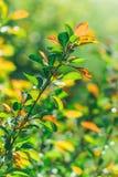 Sorgente La fuga delle plantule Ramifichi con giovane succoso Fotografia Stock Libera da Diritti