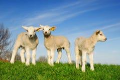 sorgente sveglia degli agnelli Immagine Stock