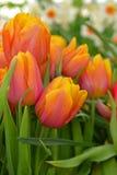 Sorgente Tulip Darwin Hybrid Mystic Van Eijk fotografia stock libera da diritti