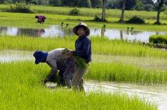 Sorgenti del metano di /man-made del CAMPO di risaia Immagini Stock
