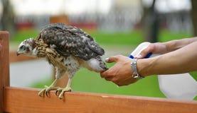 Sorgfalt des Vogels, Wasserverfahren Nordhühnerhabicht Accipiter gentilis küken Lizenzfreie Stockfotos