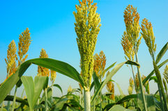 Sorghum Royalty Free Stock Photography