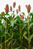 Sorghum Stock Photos