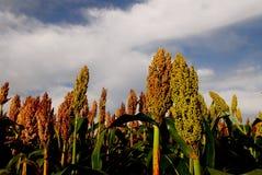 Sorghum. A sorghum plantation in the farm Royalty Free Stock Photos