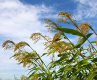 Sorghum. In the early autumn season. Maturing sorghum Royalty Free Stock Photography