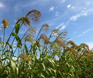 Sorghum. In the early autumn season. Maturing sorghum Royalty Free Stock Photos