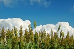 Sorghum Stock Photo