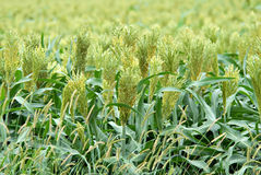 Sorghum. Closeup of sorghum milo in a farm field in Kansas royalty free stock images