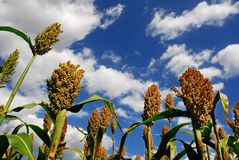 Sorghum Royalty Free Stock Image