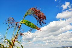 Sorghum. Green sorghum with blue sky background Royalty Free Stock Image