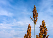 Sorghum against the blue sky closeup. Sorghum against the blue sky close up Royalty Free Stock Images