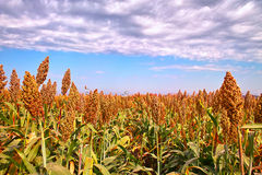 Sorghum in autumn. Sorghum under blue sky in autumn Stock Image