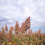 Sorghum  in autumn. Ripe sorghum  in autumn, China Stock Photos