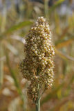Sorghum bicolor crop. Sorghum bicolor, commonly called sorghum and also known as durra, jowari, or milo, is a grass species cultivated for its grain, which is stock image