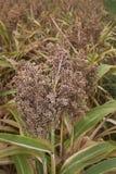 Ripe fruit of Sorghum bicolor. Sorghum bicolor crop in summer stock photos