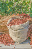 Sorghum bicolor subsp drummondii. Sorghum seeds in bag. Sorghum bicolor background Stock Photo