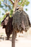 Sorghum in Burkina. Sorghum hung out to dry in village, Burkina faso royalty free stock photography