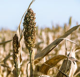 Sorghum field Royalty Free Stock Images