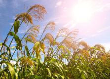 Sorghum. In the early autumn season. Maturing sorghum Royalty Free Stock Image
