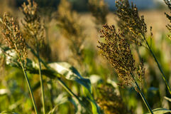 Sorghum. Early in the morning, the fields of sorghum looks vibrant royalty free stock photos