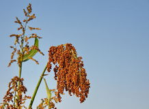 Sorghum. Eastphoto, tukuchina,  Sorghum, Life Style Royalty Free Stock Images
