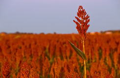 Sorghum field Royalty Free Stock Photos