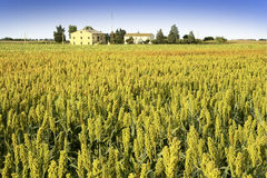 Sorghum field Royalty Free Stock Image