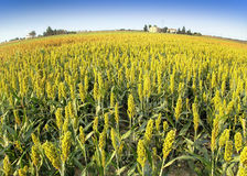 Sorghum field. With a farm in the distance Royalty Free Stock Photos