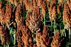 Sorghum field Stock Photos