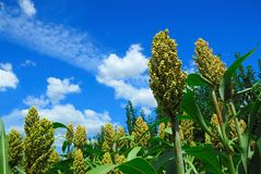 Sorghum field. Green sorghum with blue sky background Stock Photo