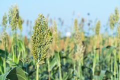 Sorghum in field agent blue sky. Close up Sorghum or Millet an important cereal crop in field agent blue sky Stock Image