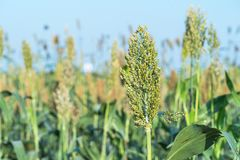 Sorghum in field agent blue sky. Close up Sorghum or Millet an important cereal crop in field agent blue sky Stock Photos